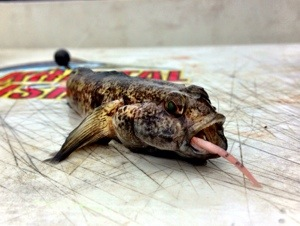 Boat Goby