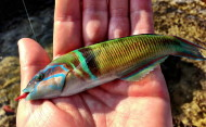 Ornate Wrasse Rhodes