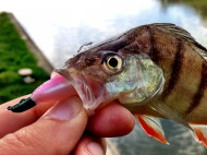 Perch on Live Baby Shad