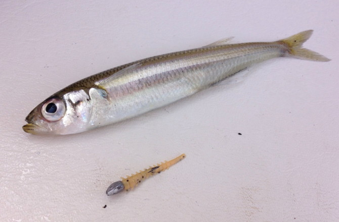 Smelt on Isome Tail
