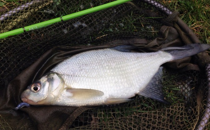 Bream on Reins Lure