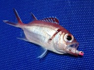Blackbar Soldierfish