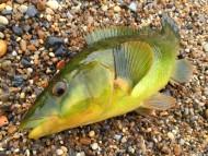 Golden Green Ballan Wrasse