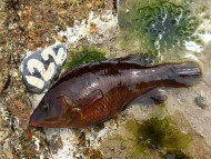 Corkwing Wrasse Cornwall
