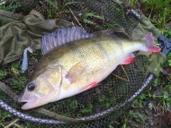 Perch on Blue Back Mini Shad