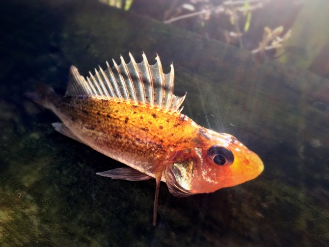 Ruffe Fish Picture