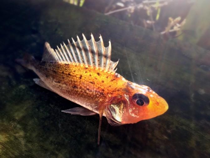 Ruffe Fish Picture