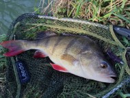 Big Perch on HTO Bug-ga