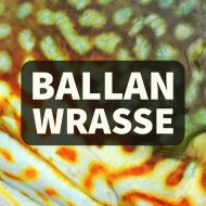 Ballan Wrasse