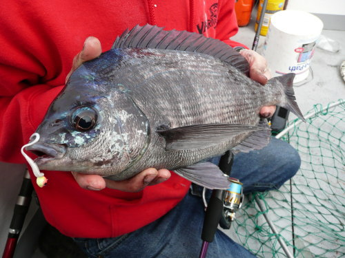 Black Bream on Daiwa Lure