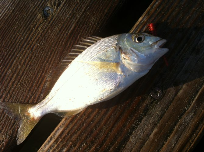 Gilthead Bream Italy