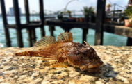 Scorpion Fish at Old Portsmouth