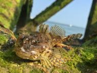 Sea Scorpion in Weed