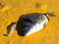Two-banded Bream on Lure