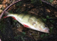Oxford Perch on Hart Lure