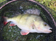Fat Perch