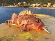 Small Red Scorpionfish