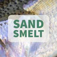 Sand Smelt