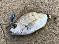 Annular Seabream on Nano Metal Jig