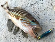 Comber Fish