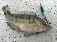 Grey Wrasse on Metal Jig