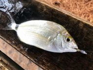 Annular Bream on Aquawave Ami