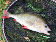 Perch on Aquawave Worm Shad