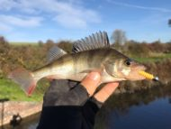 Perch on Orange Lure