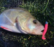 Perch on Pink Aquawave Lure