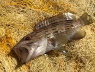 Goldblotch Grouper