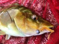 Ballan Wrasse on AquaWave Straight Worm