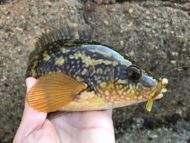 Wrasse on Doiyo Blaze Rabbit Craw