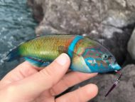 Ornate Wrasse on Metal