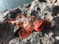 Red Madeira Rockfish