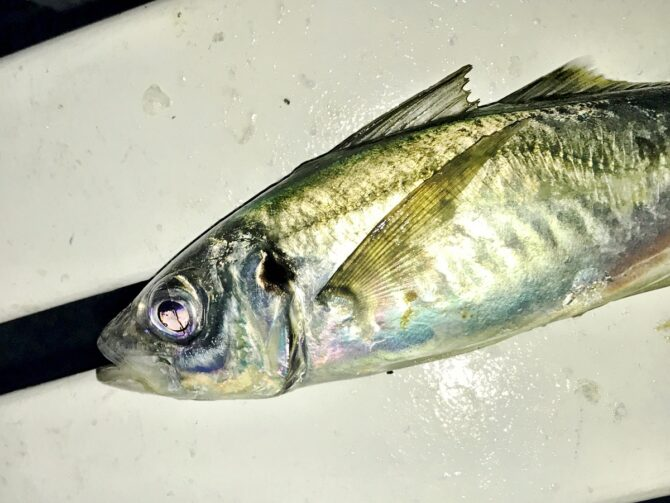 Evening Scad Fishing
