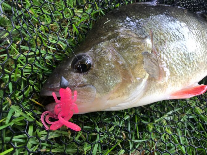 Perch on Pink HTO Bug-ga Lure